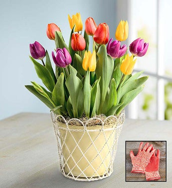 Colorful Tulip Bulb Garden  Free Gloves