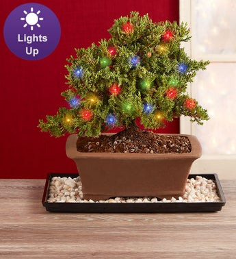 Merry Christmas Bonsai