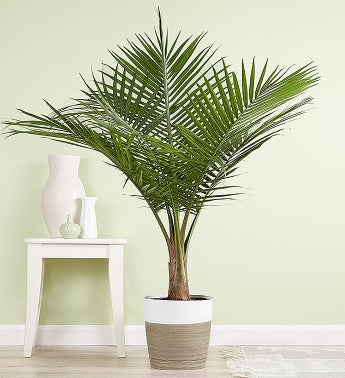Majesty Palm Floor Plant for Sympathy