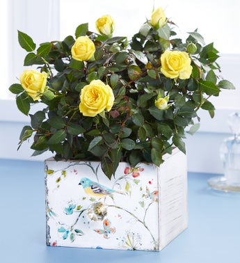 Cheerful Blooms Rose Plant